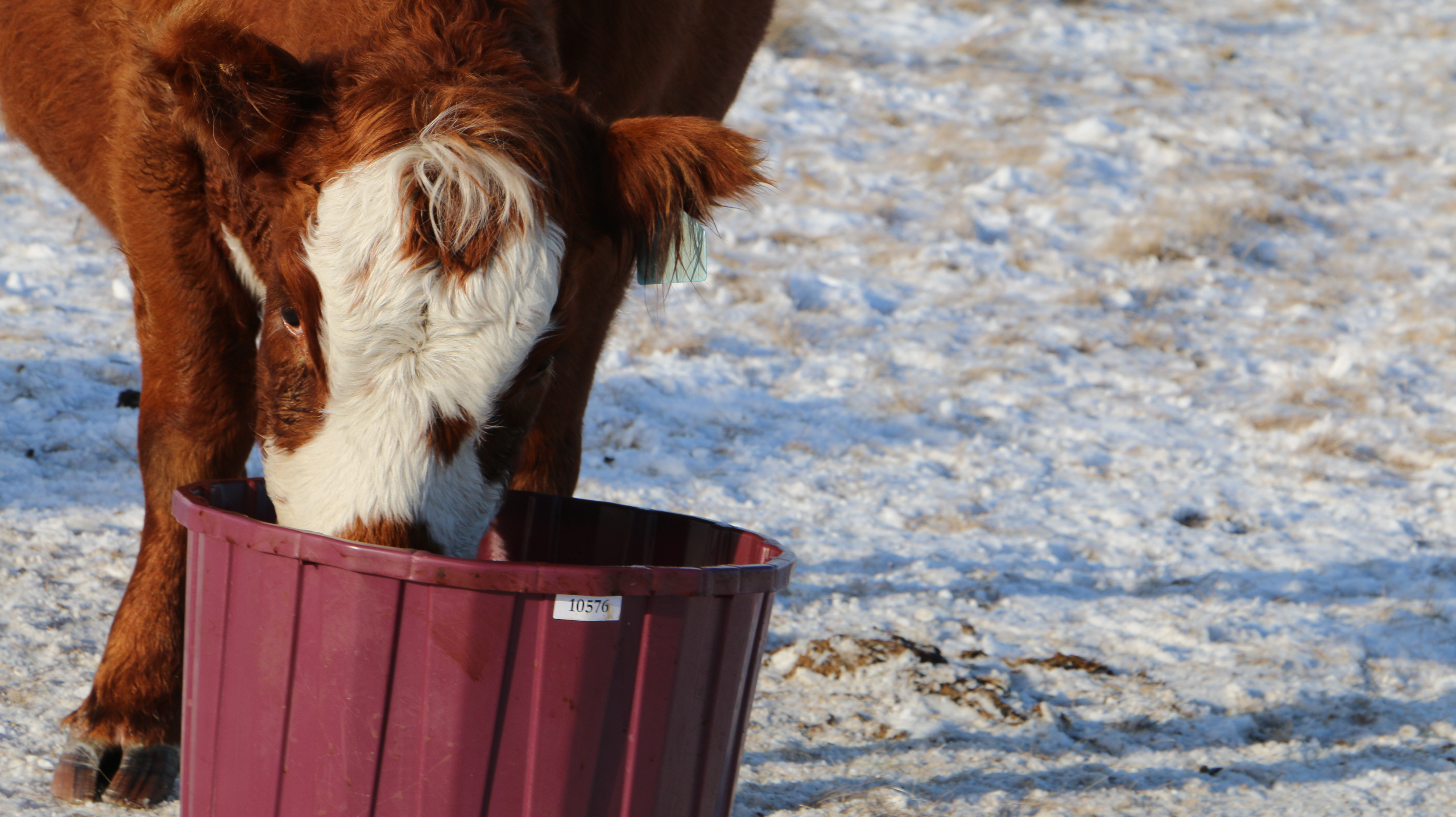 protein-feed-cattle