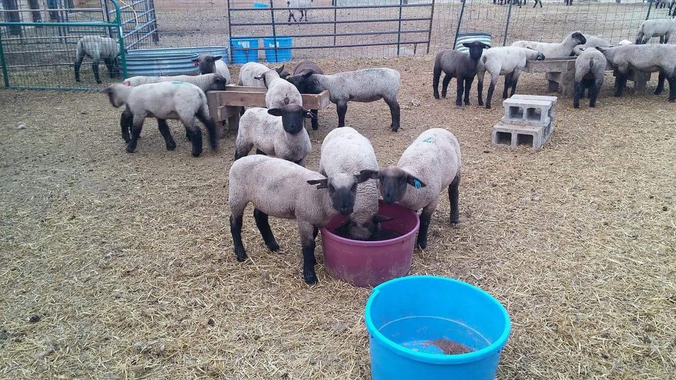 wyoming-sheep-mineral
